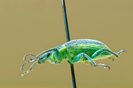 entomological: Yellow banded leaf weevil on an entomological pin.