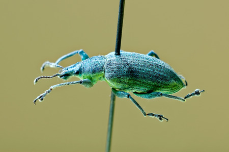 Yellow banded leaf weevil on an entomological pin.