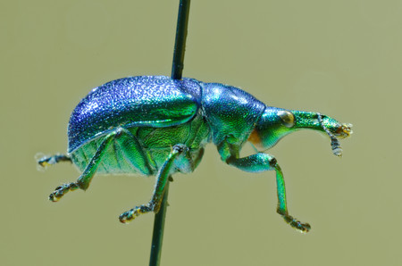 hazel: Hazel leaf-roller weevil on an entomological pin.