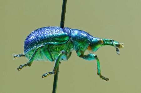 entomological: Hazel leaf-roller weevil on an entomological pin.