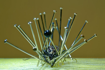 entomological: Preparation of a Carabus beetle for scientific collection. Stock Photo