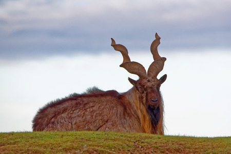 wild goat: Markhor Capra falconeri is a large species of wild goat.