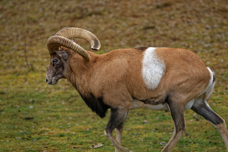 mouflon: Mouflon Ovis aries gmelini is a subspecies group of the wild sheep Ovis orientalis. Populations of O. orientalis can be partitioned into the mouflons orientalis group and the urials vignei group.