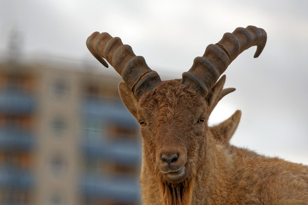 ovis: Urial Ovis orientalis vignei, also known as the arkars or shapo, is a subspecies group of the wild sheep Ovis orientalis. Stock Photo