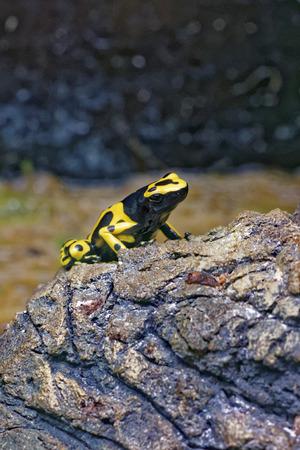 poison frog: rana Amarillo-congregada del dardo del veneno (leucomelas de Dendrobates), también conocido como el veneno de cabeza amarilla rana dardo o abejorro rana venenosa, es una rana venenosa del género Dendrobates de la familia Dendrobatidae.