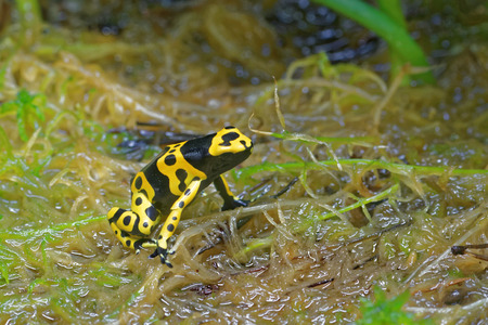 amphibia: Yellow-banded poison dart frog (Dendrobates leucomelas), also known as yellow-headed poison dart frog or bumblebee poison frog, is a poisonous frog from the Dendrobates genus of the Dendrobatidae family.