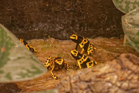 dart frog: Yellow-banded poison dart frog (Dendrobates leucomelas), also known as yellow-headed poison dart frog or bumblebee poison frog, is a poisonous frog from the Dendrobates genus of the Dendrobatidae family.