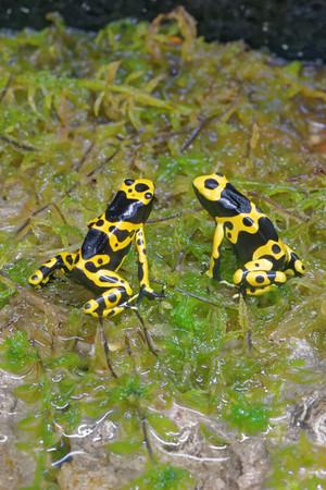 rana venenosa: rana Amarillo-congregada del dardo del veneno (leucomelas de Dendrobates), también conocido como el veneno de cabeza amarilla rana dardo o abejorro rana venenosa, es una rana venenosa del género Dendrobates de la familia Dendrobatidae.