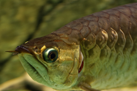 Asian arowana (Scleropages formosus) comprises several phenotypic varieties of freshwater fish distributed geographically across Southeast Asia.