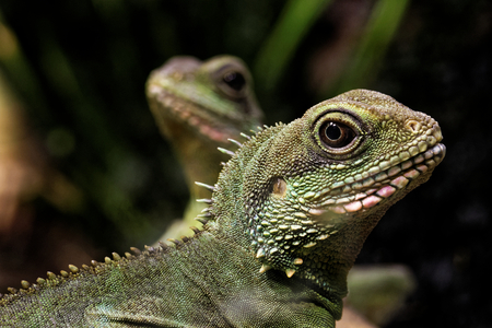 vivarium: Chinese water dragon (Physignathus cocincinus) is a species of agamid lizard native to China and Indochina.