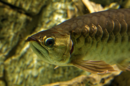 geographically: Asian arowana (Scleropages formosus) comprises several phenotypic varieties of freshwater fish distributed geographically across Southeast Asia.