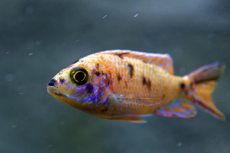 labridae: Cichlids are fish from the family Cichlidae in the order Perciformes. Stock Photo