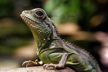 indochina: Chinese water dragon (Physignathus cocincinus) is a species of agamid lizard native to China and Indochina.
