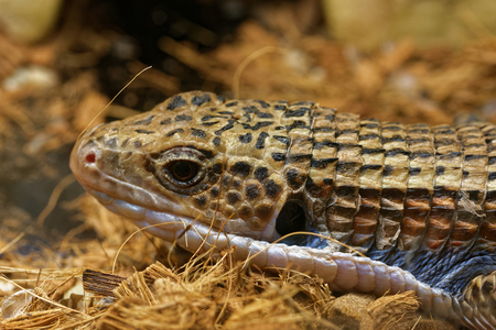 vivarium: Sudan plated lizard (Gerrhosaurus major), also known as the Western plated lizard, great plated lizard or rough-scaled plated Lizard is a lizard of the Gerrhosauridae family. Stock Photo