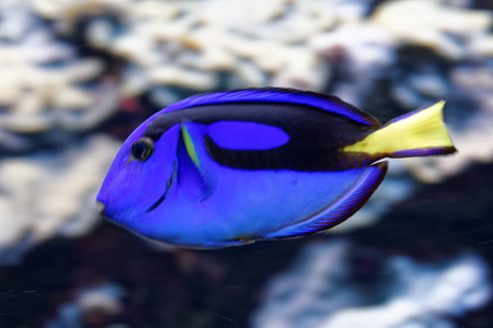surgeonfish: Paracanthurus hepatus is a species of Indo-Pacific surgeonfish. Stock Photo