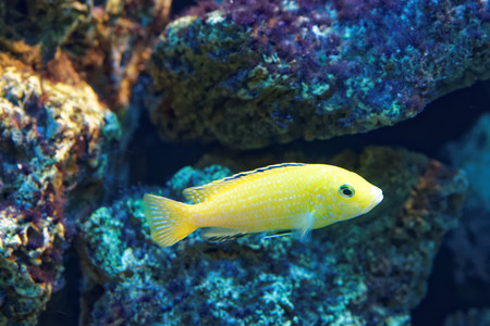 cichlidae: Gephyrochromis moorii is a species of fish in the Cichlidae family. Stock Photo