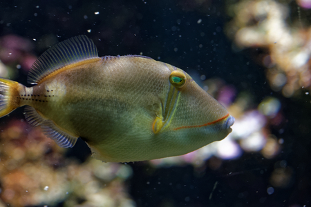 vivarium: Blackbelly triggerfish (Rhinecanthus verrucosus) is a ray-finned fish in the family Balistidae found in the west Indo-Pacific. Stock Photo