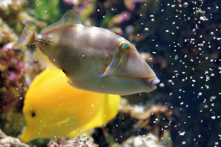 triggerfish: Blackbelly triggerfish (Rhinecanthus verrucosus) is a ray-finned fish in the family Balistidae found in the west Indo-Pacific. Stock Photo