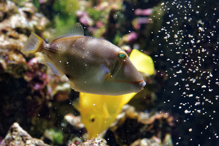 yellow tang: Blackbelly triggerfish (Rhinecanthus verrucosus) is a ray-finned fish in the family Balistidae found in the west Indo-Pacific. Stock Photo