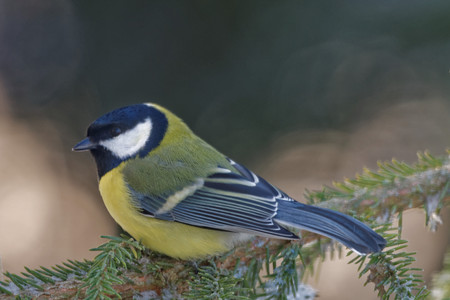passerine: Great tit (Parus major) is a passerine bird in the tit family Paridae. Stock Photo