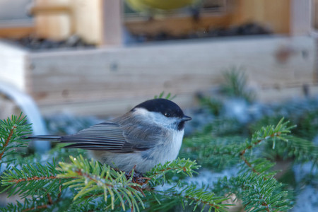 passerine: Willow tit (Poecile montanus) is a passerine bird in the tit family.