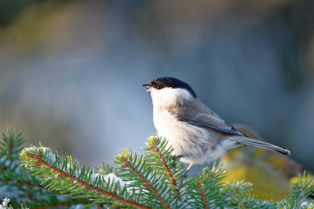poecile: Willow tit (Poecile montanus) is a passerine bird in the tit family.