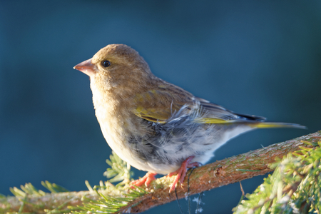 passerine: Greenfinch (Chloris chloris) is a small passerine bird in the finch family.