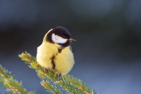 parus major: Great tit (Parus major) is a passerine bird in the tit family Paridae. Stock Photo
