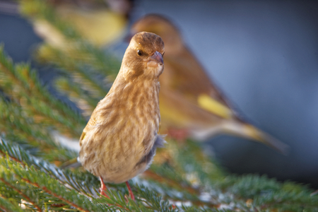 finch: Greenfinch (Chloris chloris) is a small passerine bird in the finch family.