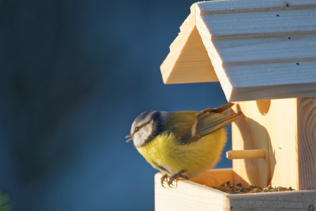 cyanistes: Eurasian blue tit Cyanistes caeruleus is a small passerine bird in the tit family Paridae. Stock Photo