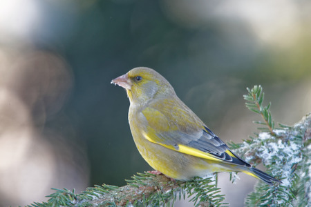 passerine: Greenfinch Chloris chloris is a small passerine bird in the finch family.