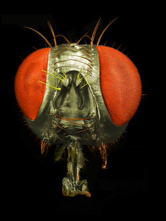 'compound eye': Portrait of a fly: correlative macro photography and scanning electron microscopy. Stock Photo