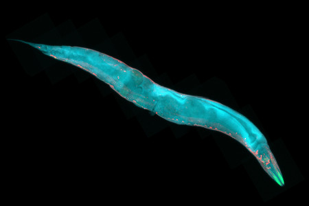 fluorescence: Caenorhabditis elegans, a free-living transparent nematode roundworm, about 1 mm in length. Fluorescence micrograph.