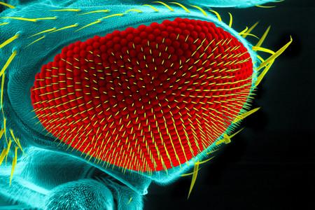 microscopy: Eye of a fruit fly, Drosophila melanogaster, scanning electron microscopy Stock Photo