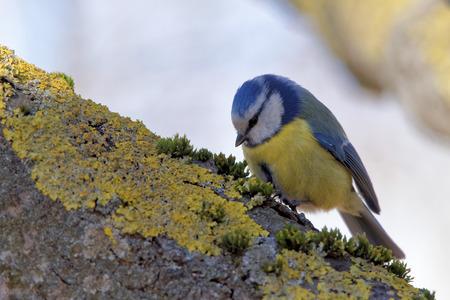 passerine: Eurasian blue tit (Cyanistes caeruleus) is a small passerine bird in the tit family Paridae. Stock Photo