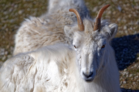 ovis: Dall sheep (Dalls sheep), Ovis dalli, is a species of sheep native to northwestern North America. Stock Photo