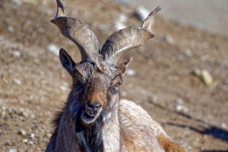 capra: Markhor (Capra falconeri) is a large species of wild goat. Stock Photo