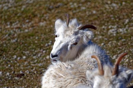 mammalian: Dall sheep (Dalls sheep), Ovis dalli, is a species of sheep native to northwestern North America. Stock Photo