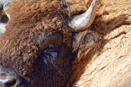 mammalian: European bison (Bison bonasus), also known as wisent or the European wood bison, is a Eurasian species of bison.