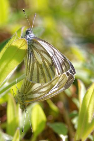copulation: Copulating Black-veined White (Aporia crataegi) Stock Photo