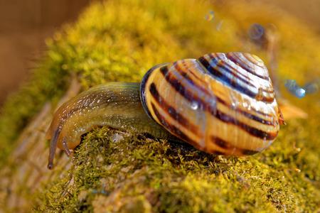 gastropod: Grove snail or brown-lipped snail (Cepaea nemoralis) is a species of air-breathing land snail, a terrestrial pulmonate gastropod mollusc