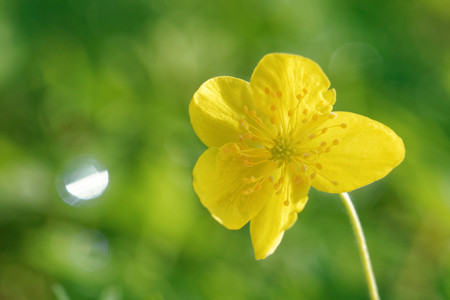 Buttercup anemone and dewdrops in the morning.