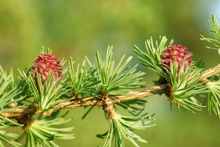 larch tree: Young ovulate cones (strobili) of larch tree in spring, beginning of May.