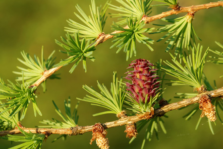 ovulate: Ovulate cone (strobilus) and pollen cones of larch tree in spring, beginning of May. Stock Photo
