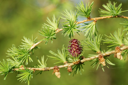 ovulate: Ovulate cone and pollen cones of larch tree in spring, beginning of May.