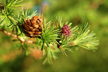 Old and young ovulate cones of larch tree in spring, beginning of May.
