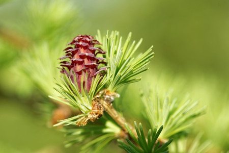 ovulate: Ovulate cone (strobilus) of larch tree in spring, beginning of May.
