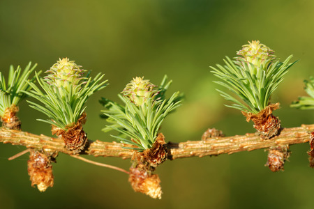 ovulate: Ovulate cones and pollen cones of larch tree in spring, beginning of May. Stock Photo