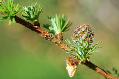 ovulate: Ovulate cone and pollen cone of larch tree in spring, beginning of May. Stock Photo