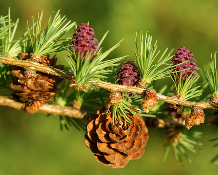 ovulate: Old and young ovulate cones and young pollen cones of larch tree in spring, beginning of May.